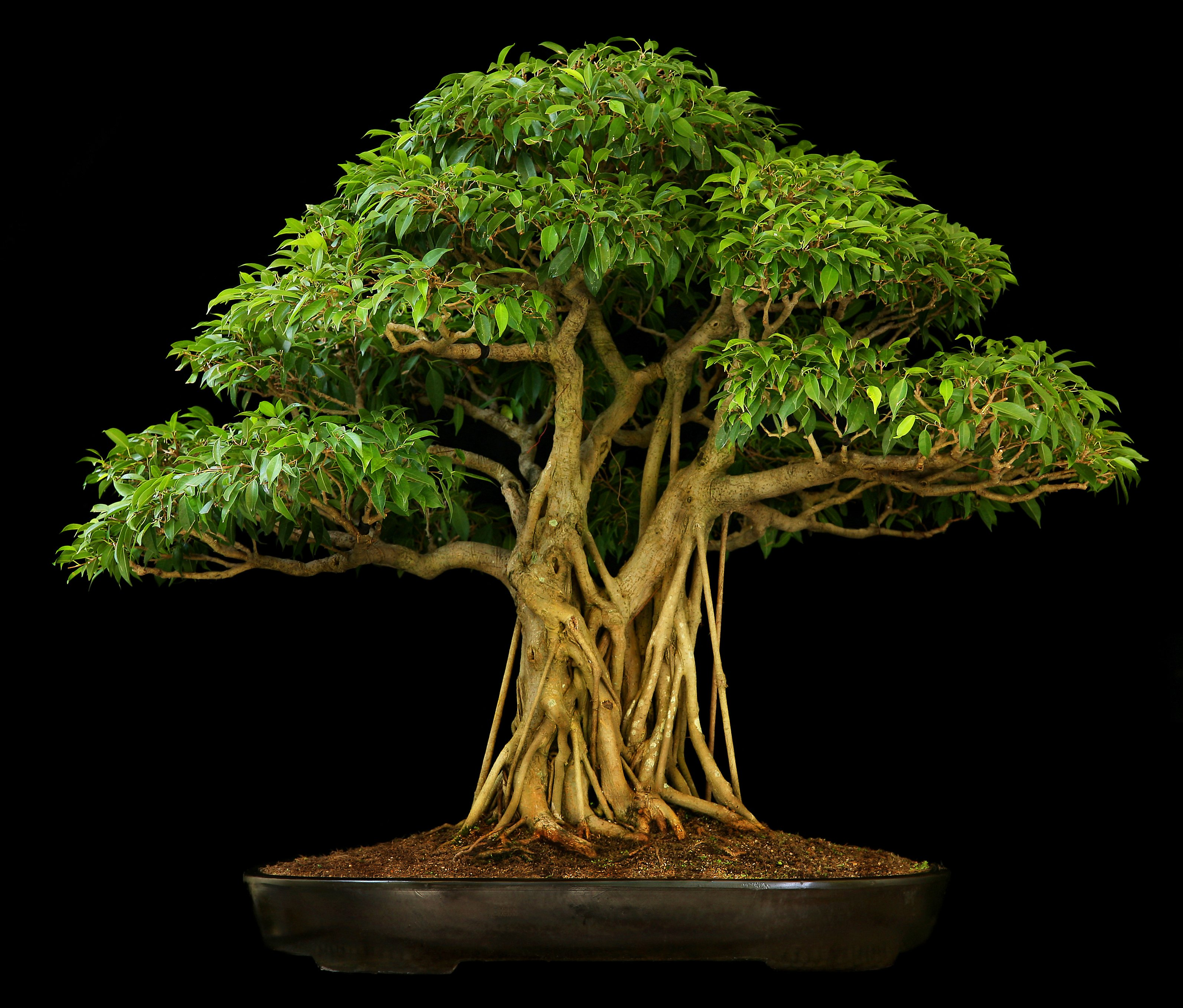 Ficus Bonsai Tree The Blonde Salad